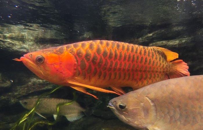 Kormleniye-arovan