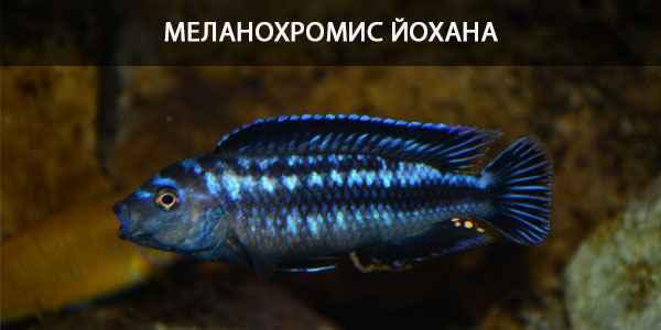 Питание в природе и в кормление в аквариуме Меланохромис Йохана