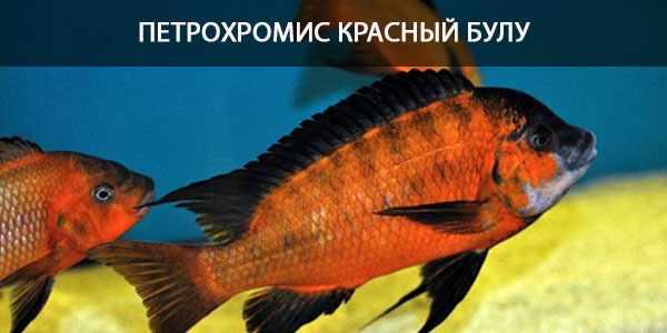 Питание в природе и в кормление в аквариуме петрохромиса Красного булу