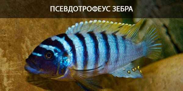 Питание в природе и в кормление в аквариуме Псевдотрофеус зебра