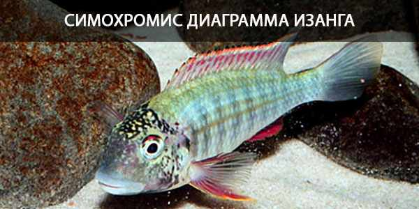 Питание в природе и в кормление в аквариуме симохромис Изанга