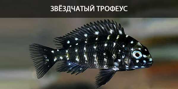 Питание в природе и в кормление в аквариуме звёздчатого трофеуса