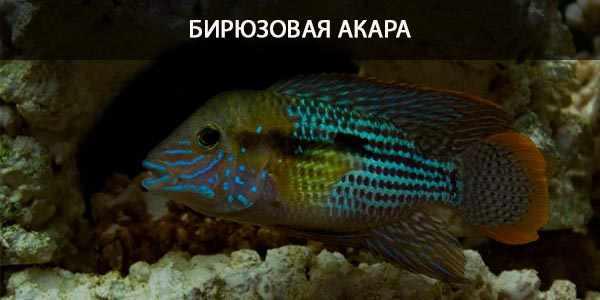 Питание в природе и кормление в аквариуме бирюзовой акары
