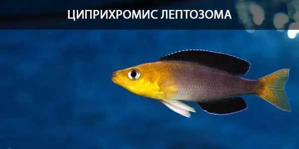 Питание в природе и кормление в аквариуме паратиляпии лептозомы