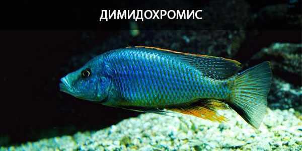 Питание в природе и кормление в аквариуме димидохромиса