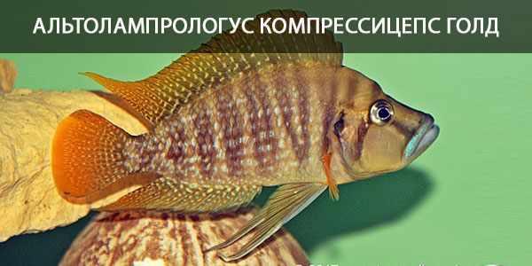 Питание в природе и кормление в аквариуме цихлиды золотая голова