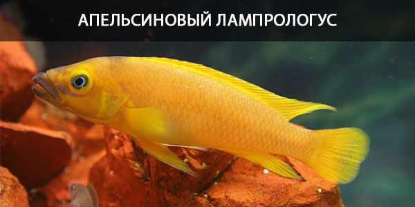 Питание в природе и кормление в аквариуме апельсинового лампрологуса