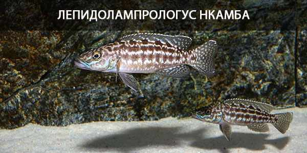 Питание в природе и кормление в аквариуме лепидолампрологуса Нкамба