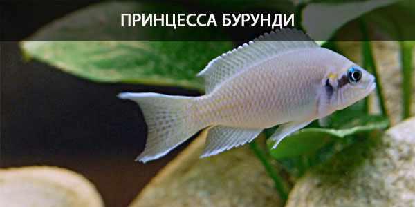 Питание в природе и кормление в аквариуме Принцессы Бурунди